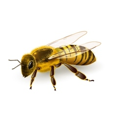Wasp realistic isolated vector