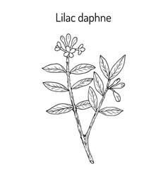 Lilac-daphne daphne genkwa medicinal plant vector
