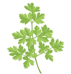 Parsley vector image