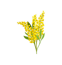 Bouquet of yellow mimosa beautiful fluffy flowers vector