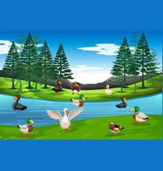 many duck at the pond vector image
