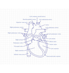 Human heart close-up with descriptions cardiology vector