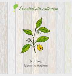 Pure essential oil collection nutmeg wooden vector