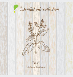 basil essential oil label aromatic plant vector image
