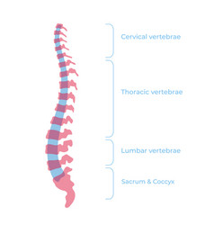 human spine structure vector image