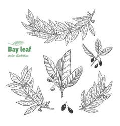 Laurel bay leaf collection vector