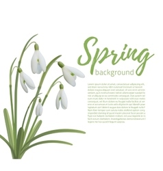 Snowdrop flowers isolated on white vector image