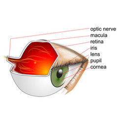 anatomy of eye vector image vector image