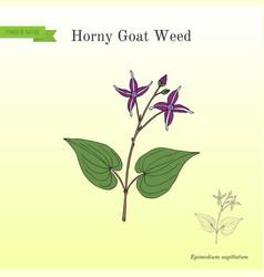 horny goat weed epimedium sagittatum medicinal vector image