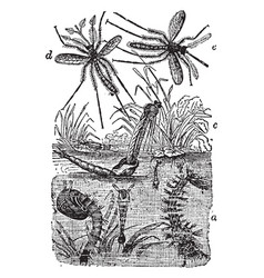 Life cycle of a gnat vintage vector