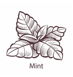 mint icon hand drawn detailed organic product vector image