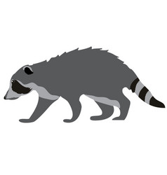 raccoon isolated on white background vector image