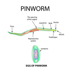 pinworms structure of an adult pinworm egg vector image