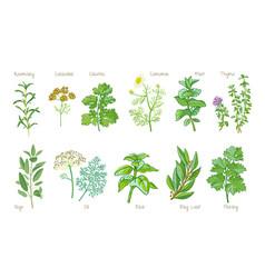 Culinary herbs vector