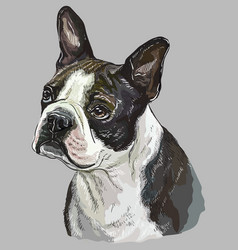 Boston terrier colorful hand drawing portrait vector