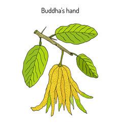 Fingered citron citrus medica or buddha s hand vector