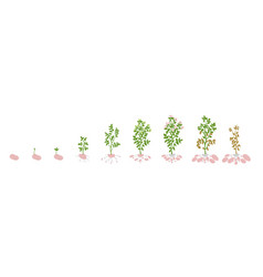 Potato growth stages growing vector