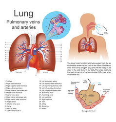 lung pulmonary veins and arteries vector image vector image