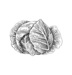 hand drawn white cabbage vector image