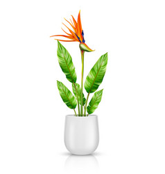 Strelitzia reginae in flowerpot vector