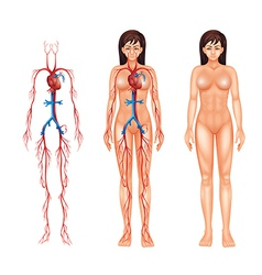 Female circulatory system vector
