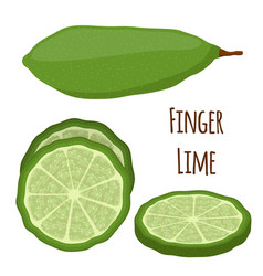finger lime cartoon style vector image