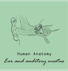 Handdrawn human external auditory meatus vector