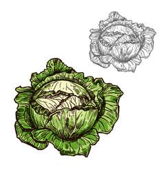 Cabbage sketch vegetable icon vector