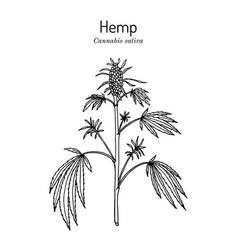 Hemp cannabis sativa medicinal plant vector