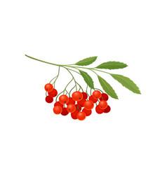Bunch red rowan on white vector