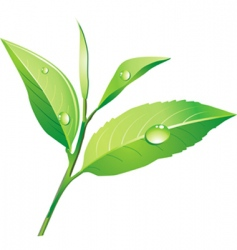 vector green tea vector image