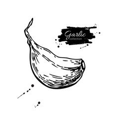 Garlic clove hand drawn vector