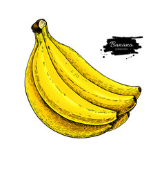 banana bunch drawing isolated hand drawn vector image