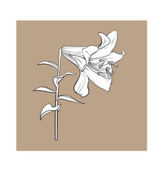 single white lily flower with stem and leaves vector image