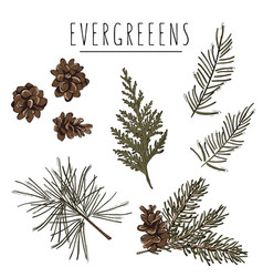 Pine tree cones fir branches evegreen plants on vector