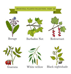 Vintage collection of medical herb vector