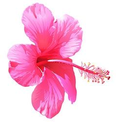 A pink gumamela flower vector