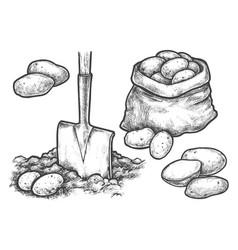 sketch potato harvesting or farm planting vector image