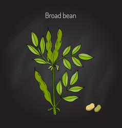 Broad beans vector