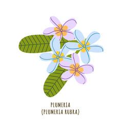 plumeria tropical flower vector image