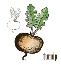 painted turnip on white background vector image