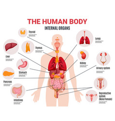 Human internal organs infographic poster vector