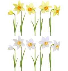 Set with white and yellow realistic daffodils vector image vector image