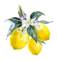 Watercolor lemons with flowers vector image vector image