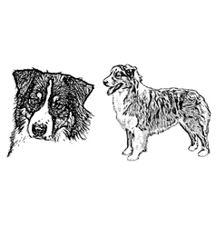 Australian shepherd on white vector