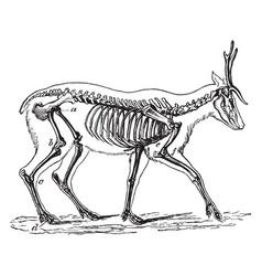 Skeleton of the deer vintage vector