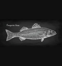 Chalk sketch of sea bass vector