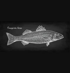 Chalk sketch sea bass vector