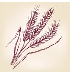 Ears of wheat hand drawn llustration vector image