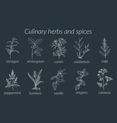 Culinary herbs and spices botanical vector